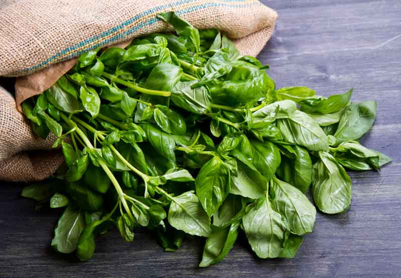 basil oil for spider bug mosquito bites