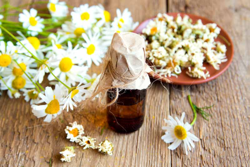 chamomile oil for spider bug mosquito bites