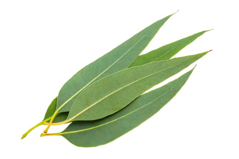 eucalyptus oil for spider bug mosquito bites