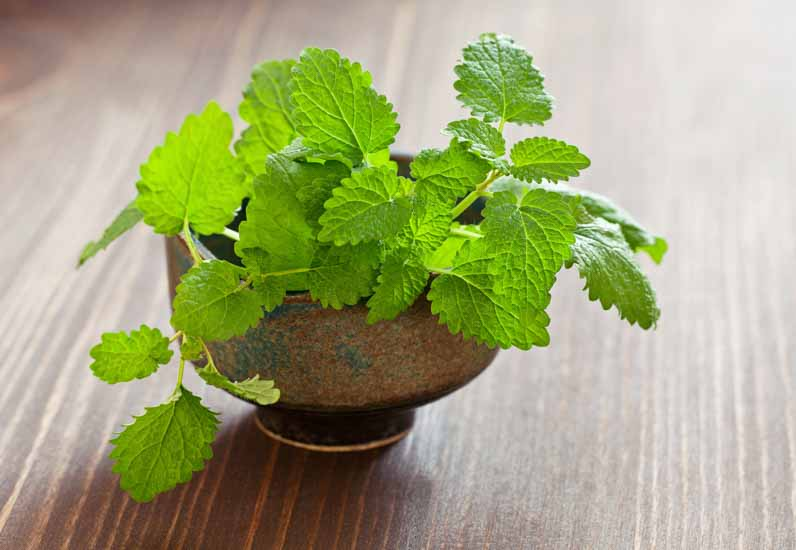 lemon balm melissa oil for bug mosquito bites