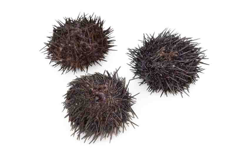 sea urchin sting