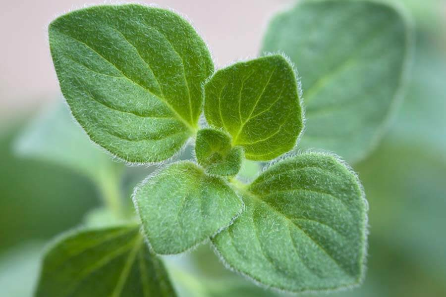 15 Benefits of Oregano Essential Oil (Plus 5 Recipes & General FAQ)