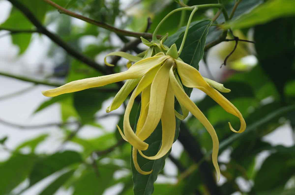 ylang-ylang-tree-essential-oil